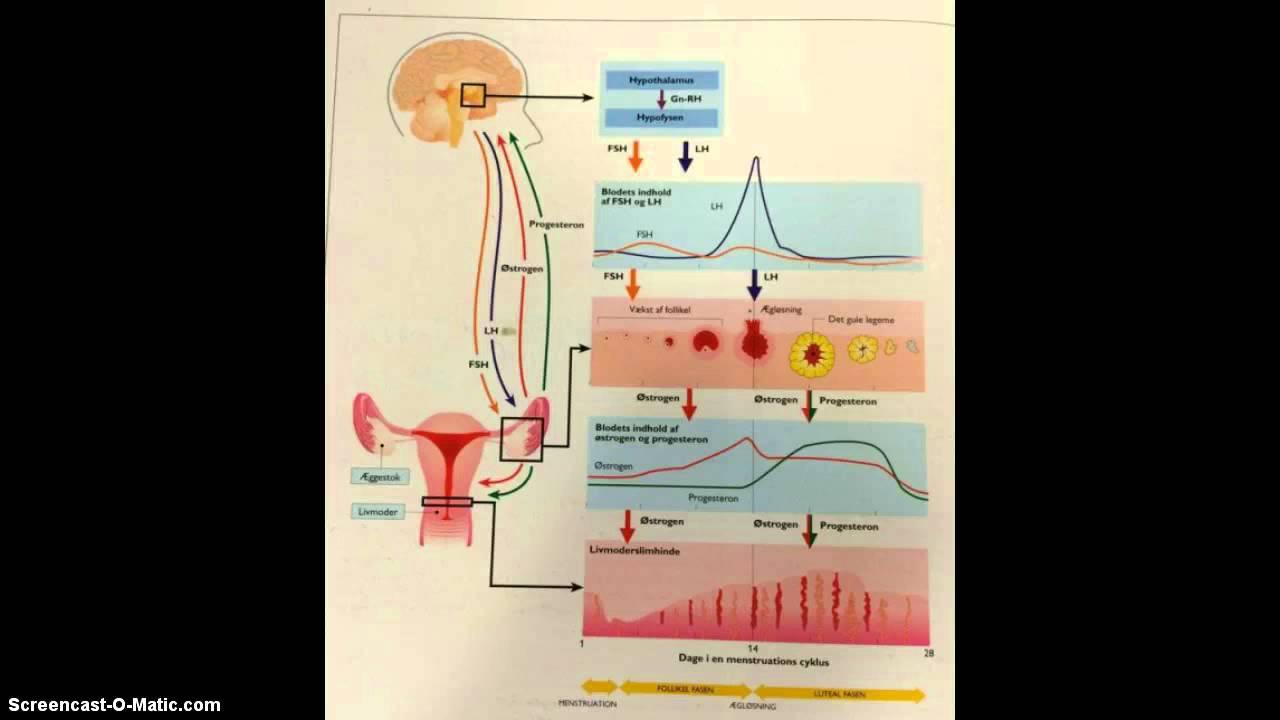 kvindens menstruationscyklus