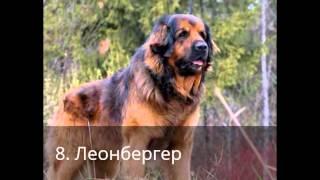 ТОП - 14: самые большие собаки в мире