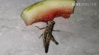 Locust eating watermelon, మిగత పుచ్చకాయని ఎలా తింటుంది