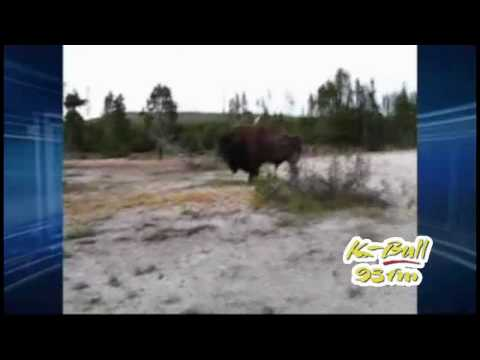 Woman Gets Attacked By Buffalo In Yellowstone