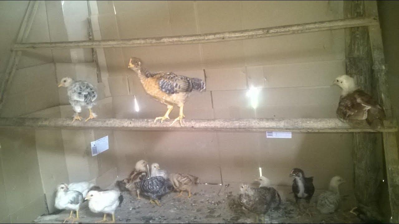 разведение кур.  3 сутки.  breeding chickens. 3 day