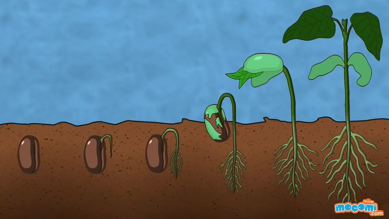 small resolution of what is germination of seed plant science for kids educational videos by mocomi