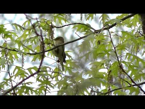 worm eating warbler, upper lobe, central park, May 2016