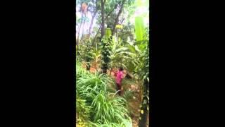 Black pepper farm in Kerala(kannur)....... it's jst 10 months old...... Cntct 9745985279