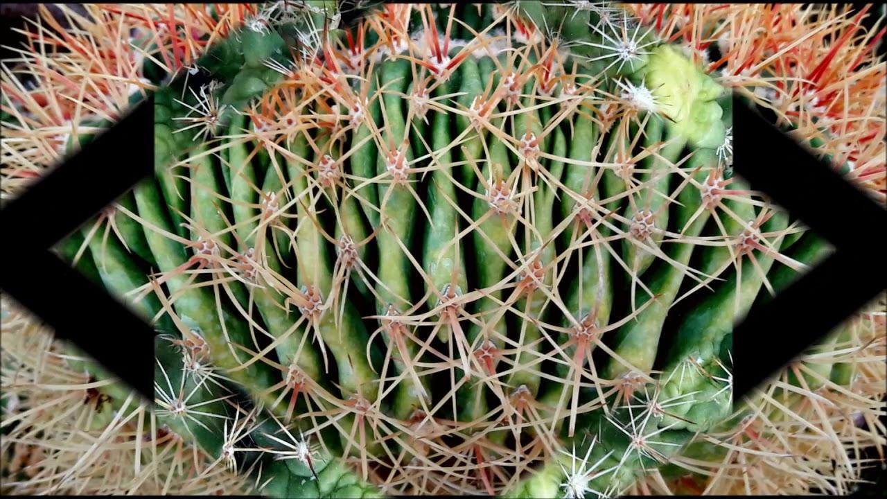 Cactus piante grasse e succulente crestate mostruose for Piante grasse succulente