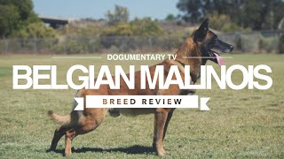 BELGIAN MALANOIS BREED REVIEW