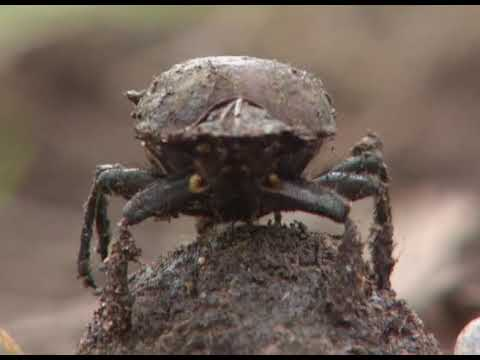 One Animals Dung is Another's Treasure - InsectsReptiles S1E11 - The Secrets of Nature