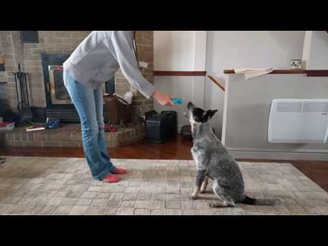 Australian Cattle dog 5 months tricks