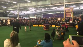 whippet best of breed final judging westminster kennel club dog show 2015