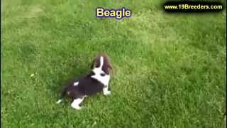 Beagle, Puppies, For, Sale, In, Washington Dc, Fort Totten, Mclean Gardens, Wesley Heights, Burleith