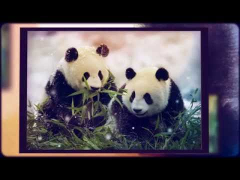 Panda facts for kids | giant | bear | fun facts about Pandas |best ...