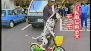 Japanarama Clip Dalmatian Riding A Bike.mpg