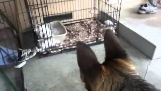 German Shepherd Kills Three Kittens