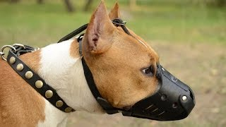 Amstaff And Other Canines In Leather Dog Muzzle