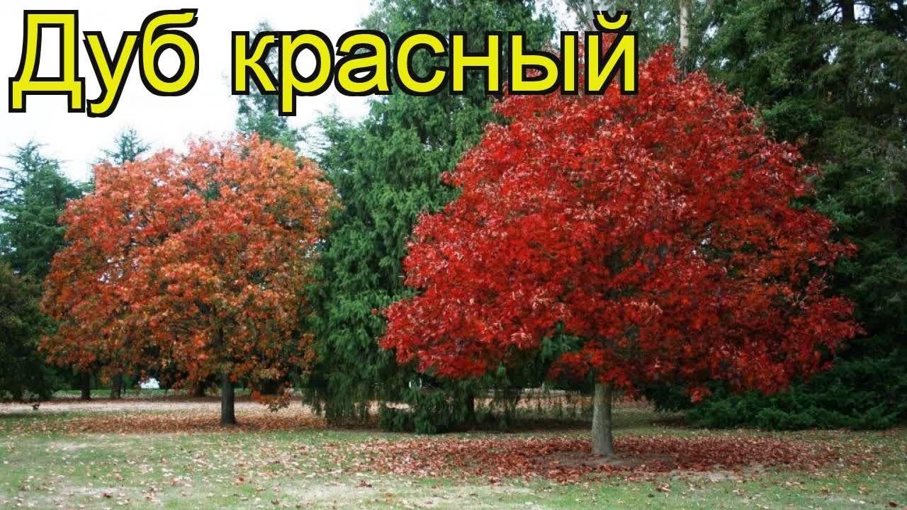 дуб quercus