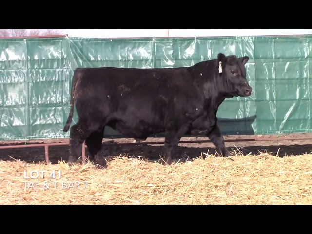 T Bar T and Taliaferro Angus Lot 41