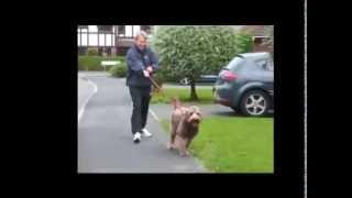 Как отучить собаку тянуть поводок(Причины, предметы и игры для корректировки., 2013-04-10T08:34:58.000Z)