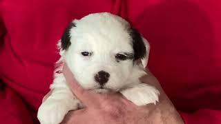 Sugar's Schnoodle puppies May 10, 2021