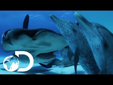 Can A Dolphin Outsmart A Shark? | Sharks VS Dolphins: Face Off | SHARK WEEK 2018