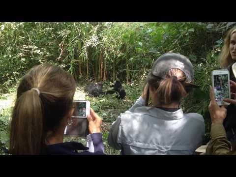 Gorilla Trekking Congo | Gorilla Treks Rwanda | Gorilla Trekking Uganda - Amahoro Tours