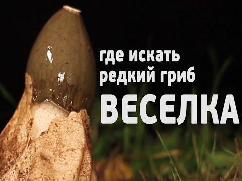 редкий гриб ВЕСЕЛКА - поиск под Москвой! www.grib.tv