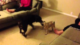 Lab Scared Of Pug