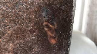 カブトムシが幼虫からサナギになる途中です。 いつもはもぞもぞ動いてい...