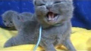 Очень маленькие британские котята.