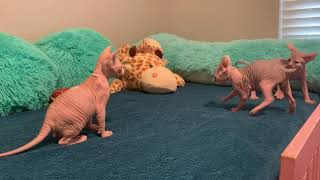 Baby Sphynx Kittens, having a quality rumble!