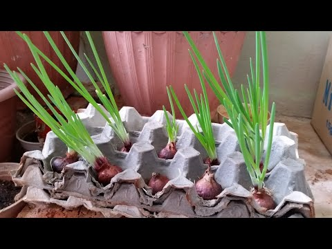 4 WAYS TO GROW ONIONS AT HOME