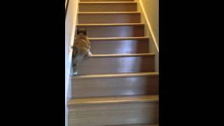 Bandit The Corgi Vs Stairs