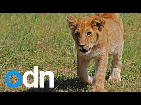 Sarajevo Zoo reveals first Lion cub bred in captivity in Bosnia