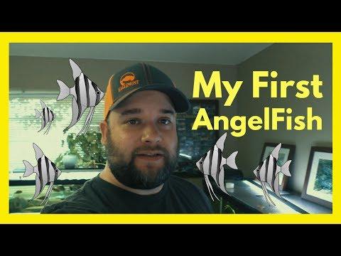 My First Angelfish - Pterophyllum Leopoldi Wild Caught - Long Nose Angelfish