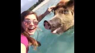 Хряк на Багамах цепляет девченок. Pig pickuping