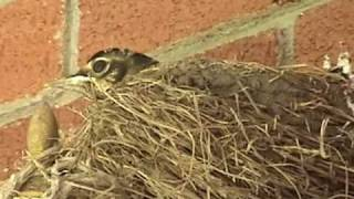 Baby Robins Leave the Nest!!