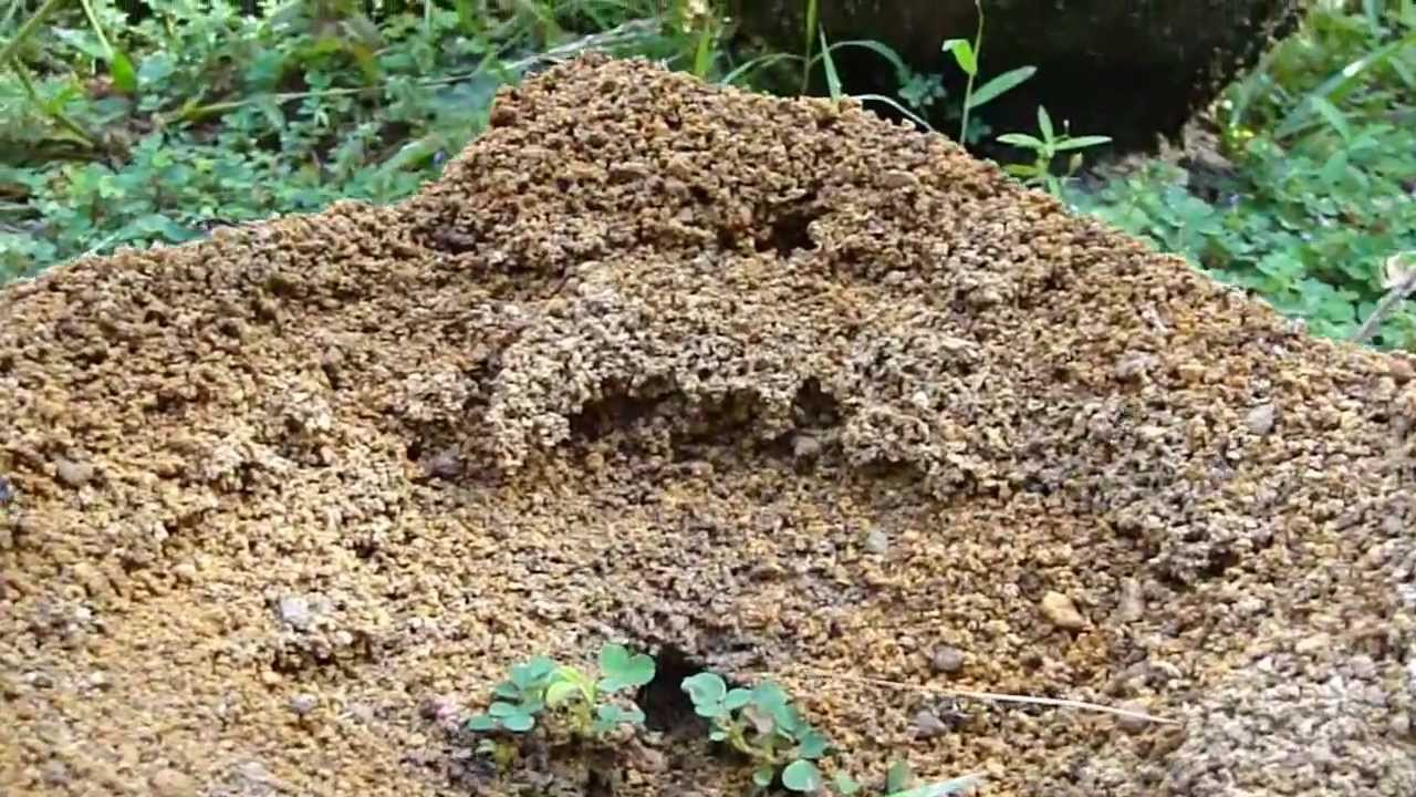 Hard working Ants Building Nest (Ant Hill)