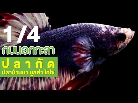 ปลากัด ปลาบ้านนา มูลค่าไฮโซ - วันที่ 24 May 2018