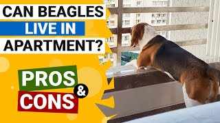 Can Beagles Live in Apartment Happily?