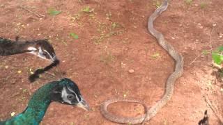 Battle at Kaikatty Peacocks vs cobra.