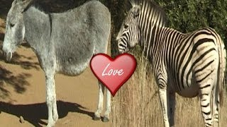 Zebra Mated with Donkey.