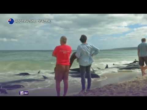 Более 150 дельфинов выбросились на берег в Австралии