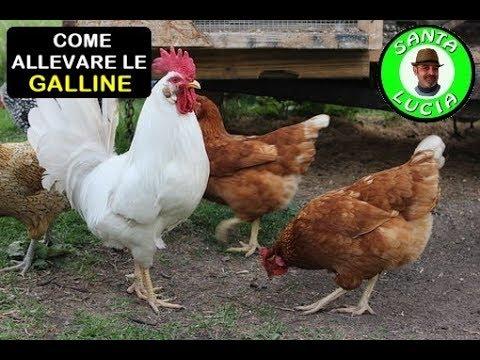 COME ALLEVARE LE GALLINE