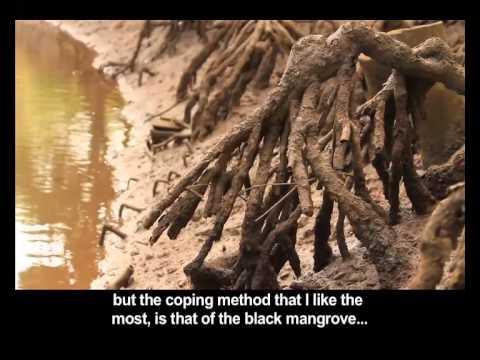 Mangroves Swamps