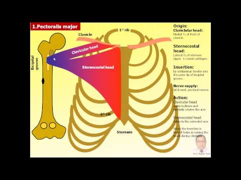 Magdy Said,Anatomy series,Upper limb,6- pectoral region.avi,v1