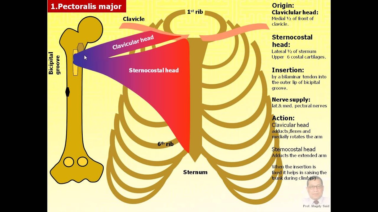 Anatomy of the pectoral region