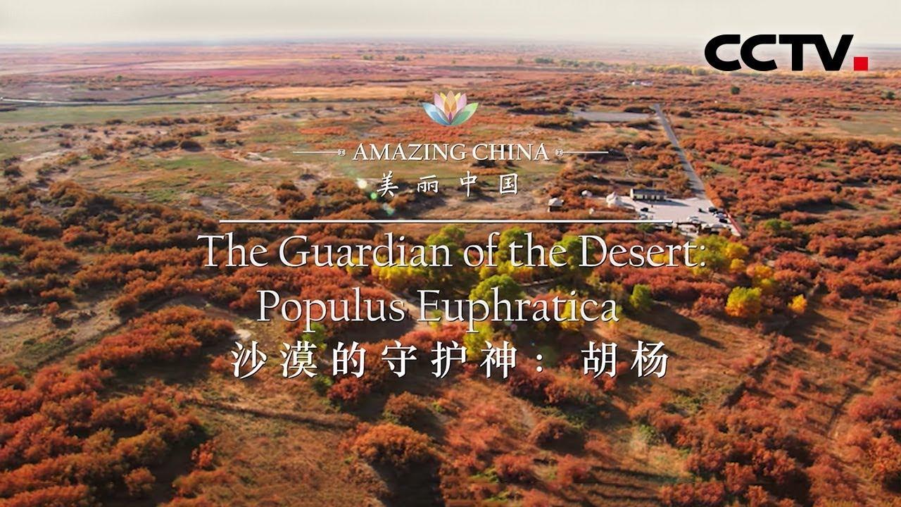 《美丽中国》沙漠的守护神:胡杨 Amazing China-The Guardian of the Desert:Populus Euphratica | CCTV纪录