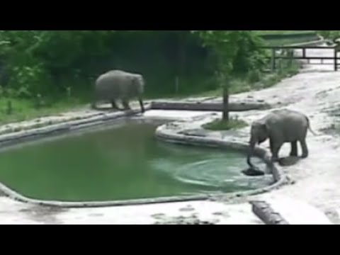 RAW: Elephants rescue calf drowning in zoo pool