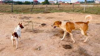 Holiday New Cool Season RuralDogs!!Basenji Vs Kooikerhondje