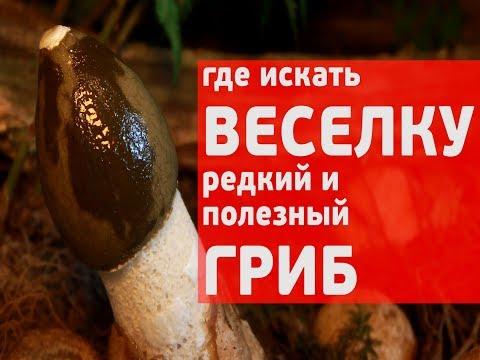 Где искать веселку, редкий и полезный гриб! И как сделать настойку
