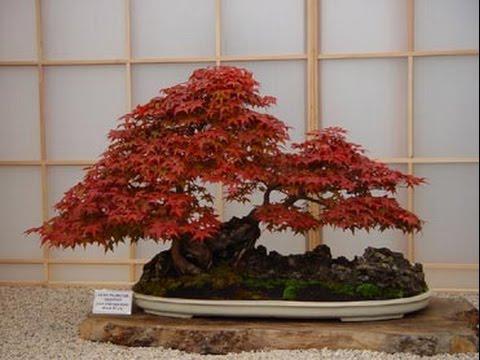 Purple Coloured Maple Bonsai Part Iii Youtube